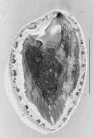 Estlandia marginata (Pahlen, 1877), GIT 321-5