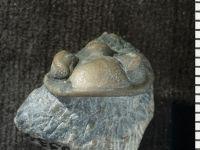 Phacopida