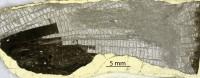 Favosites caelestis Klaamann, 1962, GIT 333-224