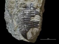 Asaphus (Neoasaphus) intermedius Balashova, 1953, GIT 337-1079