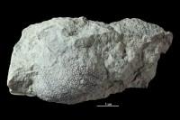 Mastopora concava Eichwald, 1840, GIT 339-588