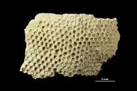 Mastopora concava Eicheald, 1840, GIT 339-632