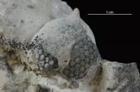 Cyclocrinites roemeri Stolley, 1896, GIT 339-745