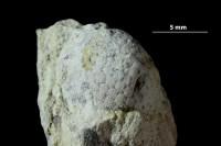 Cyclocrinites porosus Stolley, 1896, GIT 339-880