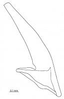 Tripodus cf. laevis Bradshaw, 1969, GIT 342-103