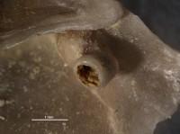 Burrinjuckia clitambonitofilia Vinn, Wilson et Toom, 2014, GIT 343-236-1