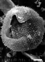 Goniosphaeridium antiquum Loeblich et Tappan, 1978, GIT 344-127