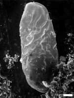 Leiovalia similis Eisenack, 1965, GIT 344-162