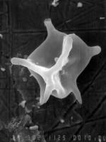 Micrhystridium polygonale Uutela et Tynni, 1991, GIT 344-182