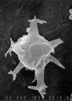 Multiplicisphaeridium opimum Uutela et Tynni, 1991, GIT 344-216