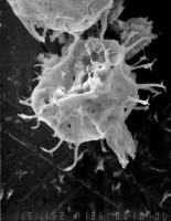 Aremoricanium sp., GIT 344-24