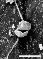 Orthosphaeridium bispinosum Turner, 1984, GIT 344-244