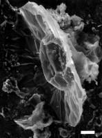 Pterospermopsis tranvikensis (Tynni, 1982) n. comb., GIT 344-259