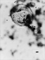 Saharidia fragile (Downie) Combaz, 1967, GIT 344-263