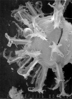 Polyancistrodorus palmatus Uutela et Tynni, 1991, GIT 344-283