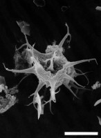 Cheleutochroa aff. diaphorosa Turner, 1984, GIT 344-71