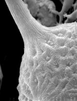 Cheleutochroa oculata Uutela et Tynni, 1991, GIT 344-73
