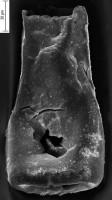 <i>Conochitina subcyatha Nestor, 1982</i><br />Ikla borehole, 225.00 m, Jaagarahu Stage
