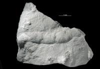 Taenidium isp., GIT 362-122