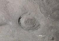 Rosselia sp., GIT 362-20