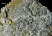 Chondrites sp., GIT 362-218-2