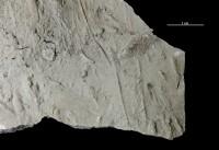 Monomorphichnus sp., GIT 362-25
