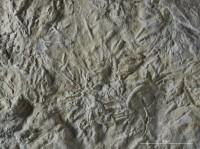 Chondrites sp., GIT 362-2