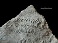 Cruziana isp., GIT 362-32