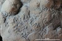 Gnathichnus sp., GIT 362-505-1