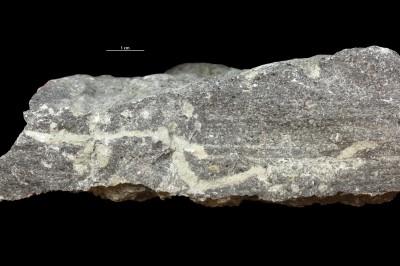 Balanoglossites sp., GIT 362-556