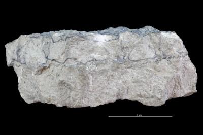 Balanoglossites sp., GIT 362-613