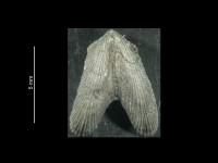 Dicoelosia vernuiliana (Beecher, 1891), GIT 37-17