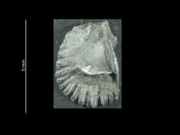 Epitomyonia glypha Wright, 1968, GIT 37-20