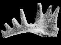Ctenognathodus jeppssoni Viira et Einasto, 2003, GIT 371-2