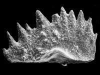 Ctenognathodus sp. C. Viira et Einasto, 2003, GIT 371-22
