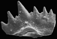 Ctenognathodus sp. C. Viira et Einasto, 2003, GIT 371-24