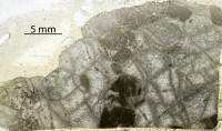 Favosites favosus (Goldfuss, 1826), GIT 380-9