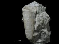 Hyolites latus Eichwald, 1860, GIT 387-3