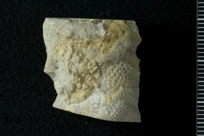 Sarcinulida