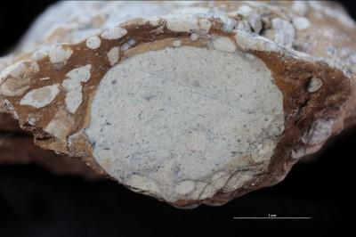 Macaronichnus large, GIT 398-217-2