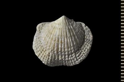 Atrypa (Atrypa) reticularis (Linnaeus, 1758), GIT 398-772