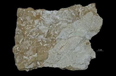 Chasmatopora furcata (Eichwald, 1854), GIT 398-82