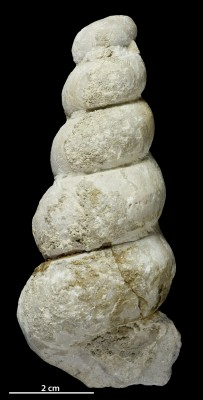 Hormotoma rudis (Koken, 1925), GIT 398-962