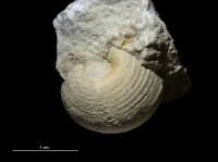 Kokenospira lateralis (Eichwald, 1860), GIT 399-1044