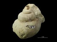 Holopea sp., GIT 399-367