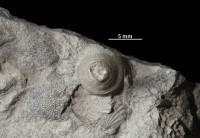 Anticalyptraea calyptrata Eichwald, 1860, GIT 403-123-1