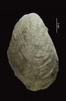 Grammysia obliqua (McCoy, 1852), GIT 403-22