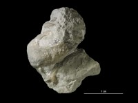 Brachytomaria baltica (Verneuil, 1845), GIT 404-195
