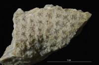 Incertae sedis (fossils)