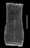 Prosomatifera